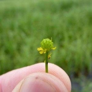 Photographie n°1122801 du taxon Ranunculus ophioglossifolius Vill. [1789]