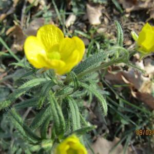 Photographie n°1123557 du taxon Ranunculus bulbosus L. [1753]