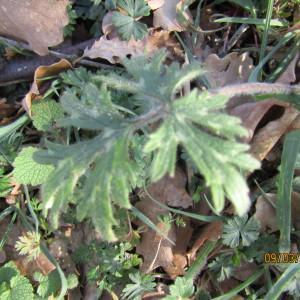 Photographie n°1123567 du taxon Ranunculus bulbosus L. [1753]