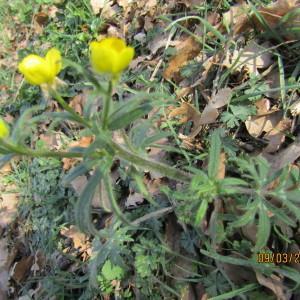 Photographie n°1123571 du taxon Ranunculus bulbosus L. [1753]