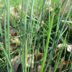 Photographie n°1123686 du taxon Allium schoenoprasum L.