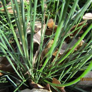 Photographie n°1123693 du taxon Allium schoenoprasum L.