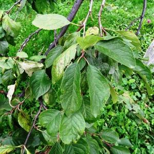 - Prunus domestica subsp. domestica