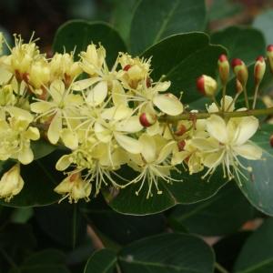 Haematoxylum campechianum L. (Campèche)