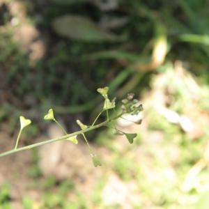 Photographie n°1131427 du taxon Capsella bursa-pastoris (L.) Medik.