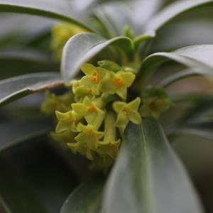 Photographie n°1139742 du taxon Daphne laureola L. [1753]