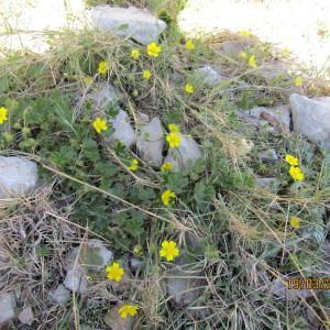 Photographie n°1143970 du taxon Potentilla L.