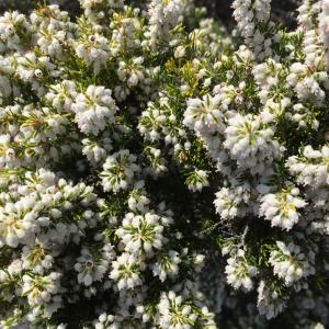 Photographie n°1144569 du taxon Erica lusitanica Rudolphi [1800]