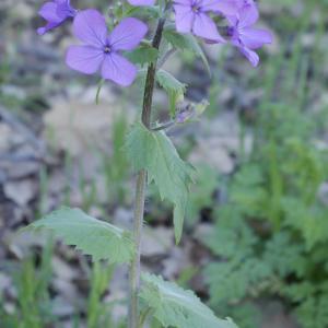 Photographie n°1146289 du taxon Lunaria annua L.
