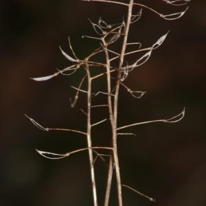 Photographie n°1146397 du taxon Noccaea praecox (Wulfen) F.K.Mey. [1973]