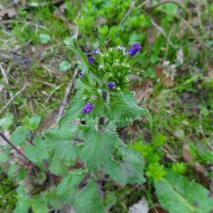 Photographie n°1146719 du taxon Lunaria annua L.