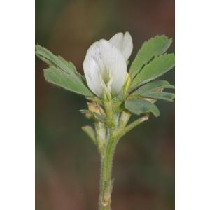 Trigonella foenum-graecum L. (Fenugrec)