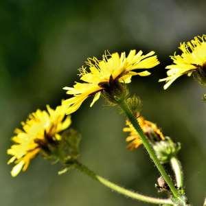 Picris hieracioides L. (Picride fausse épervière)