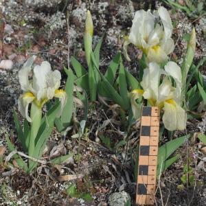 Iris lutescens Lam. (Iris des garrigues)