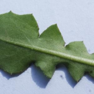 Photographie n°1150532 du taxon Crepis sancta (L.) Bornm. [1913]