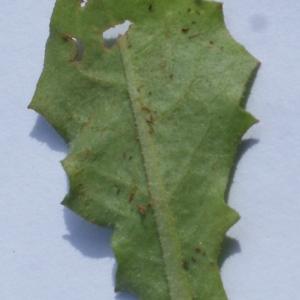 Photographie n°1150534 du taxon Crepis sancta (L.) Bornm. [1913]