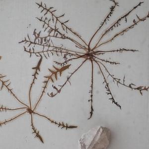 Photographie n°1151231 du taxon Lactuca perennis L.