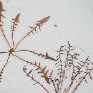Photographie n°1151232 du taxon Lactuca perennis L.