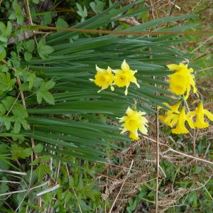 Photographie n°1151812 du taxon Narcissus pseudonarcissus L. [1753]
