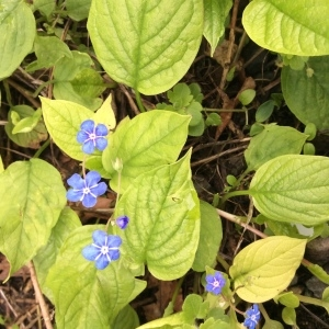 Photographie n°1154330 du taxon Omphalodes verna Moench [1794]