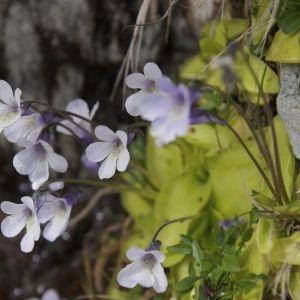 Photographie n°1156556 du taxon Pinguicula corsica Bernard & Gren.