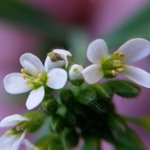 - Arabidopsis thaliana (L.) Heynh. [1842]