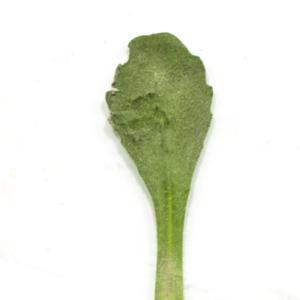 Photographie n°1161332 du taxon Bellis perennis L.