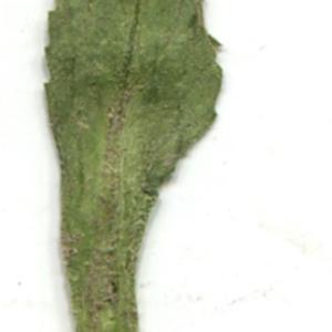 Photographie n°1161336 du taxon Bellis perennis L.