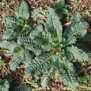 Photographie n°1161343 du taxon Verbascum L. [1753]