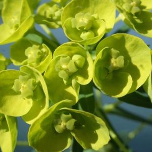 - Euphorbia cyparissias L. [1753]