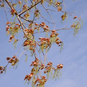 Photographie n°1164153 du taxon Populus nigra L.