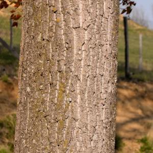 Photographie n°1164154 du taxon Populus nigra L.