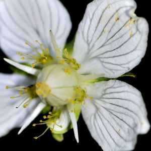 Parnassia palustris L. (Parnassie des marais)