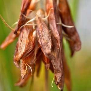 Photographie n°1166116 du taxon Trifolium L. [1753]