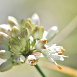 Photographie n°1166157 du taxon Allium ericetorum Thore [1803]