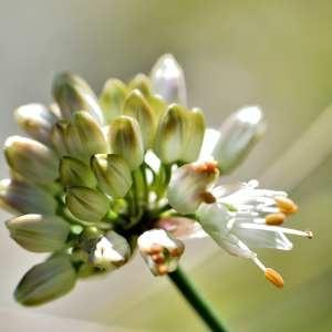 Photographie n°1166166 du taxon Allium ericetorum Thore [1803]