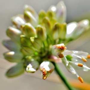 Photographie n°1166193 du taxon Allium ericetorum Thore [1803]