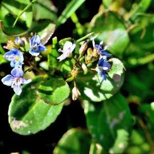 Photographie n°1166727 du taxon Veronica beccabunga L.
