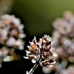 Photographie n°1167297 du taxon Thymus