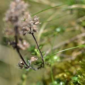 Photographie n°1167308 du taxon Thymus