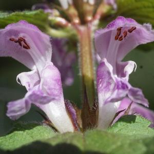 Photographie n°1173190 du taxon Lamium maculatum (L.) L. [1763]