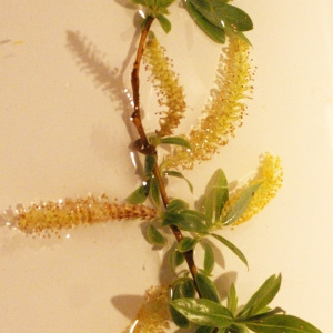Photographie n°1173236 du taxon Salix triandra L. [1753]