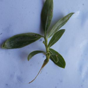Photographie n°1173259 du taxon Salix triandra L. [1753]