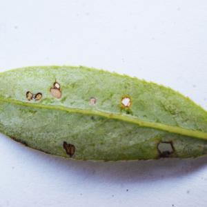 Photographie n°1173261 du taxon Salix triandra L. [1753]