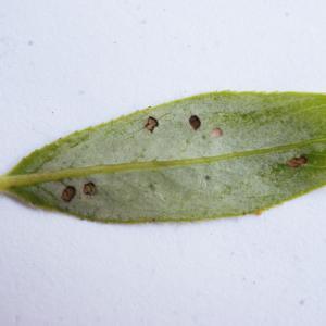 Photographie n°1173272 du taxon Salix triandra L. [1753]