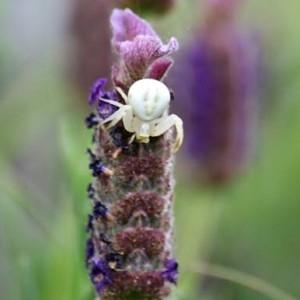 Photographie n°1174060 du taxon Lavandula L.