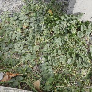 Photographie n°1176224 du taxon Erodium moschatum (L.) L'Hér. [1789]