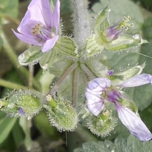 Photographie n°1176230 du taxon Erodium moschatum (L.) L'Hér. [1789]