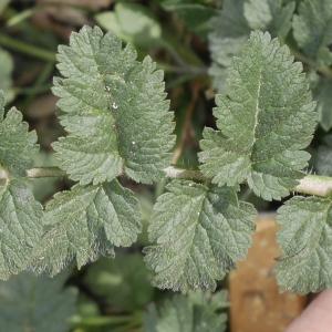Photographie n°1176241 du taxon Erodium moschatum (L.) L'Hér. [1789]