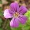 Jean-Claude Echardour - Geranium purpureum Vill. [1786]